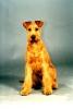 Irish Terrier Puppies.