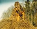 Irish Terriers - the best