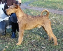 Irish Terriers on the Baltic Shows.