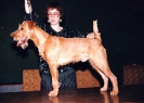 Irish Terriers in Latvia.